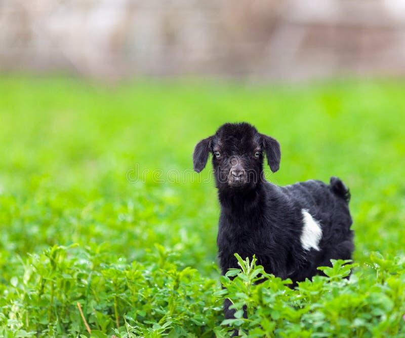 Cabra del bebé en un campo de hierba fotos de archivo libres de regalías