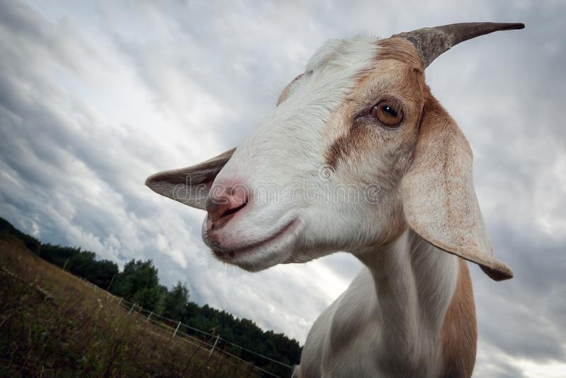 Cabra del unicornio fotografía de archivo