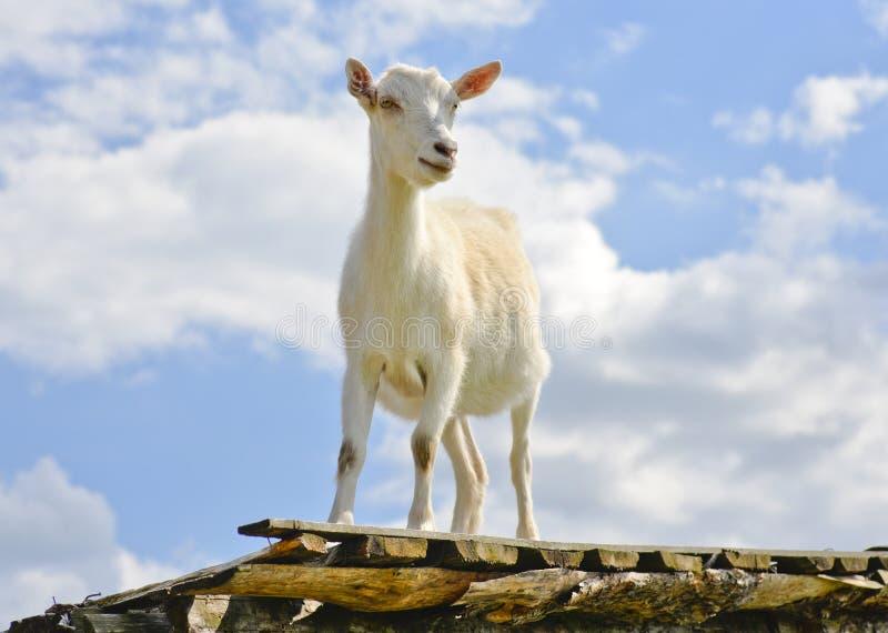 Cabra divertida que se coloca en el tejado del granero en granja del país imagenes de archivo