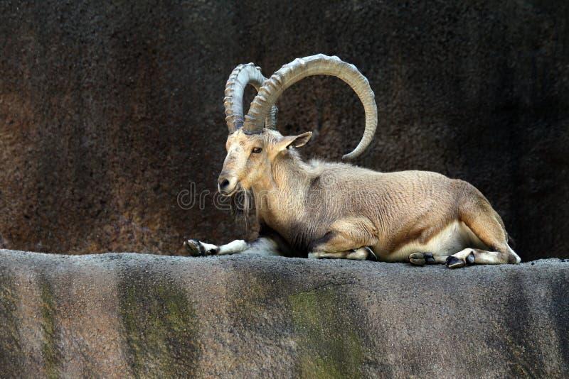 Cabra do íbex imagens de stock royalty free