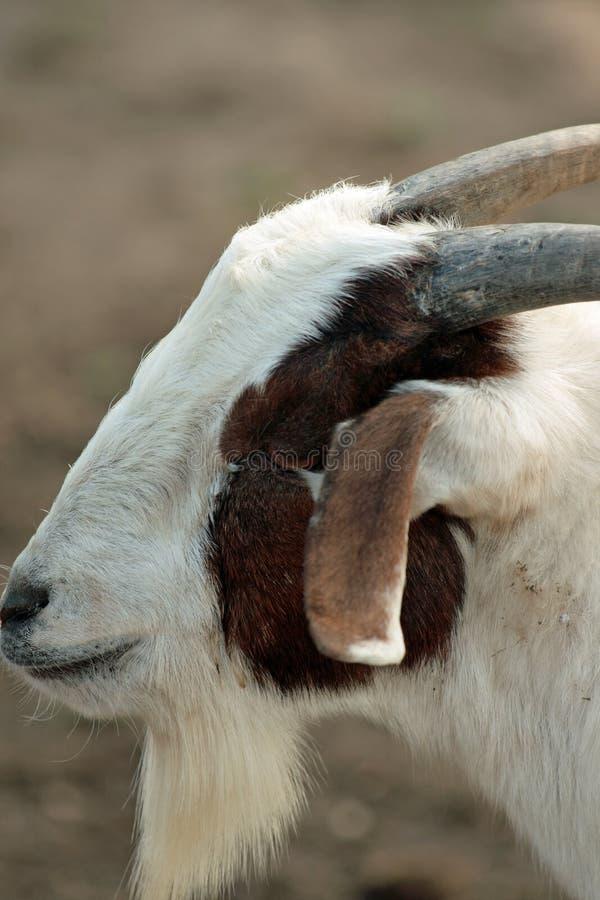 Cabra do Barnyard fotografia de stock royalty free