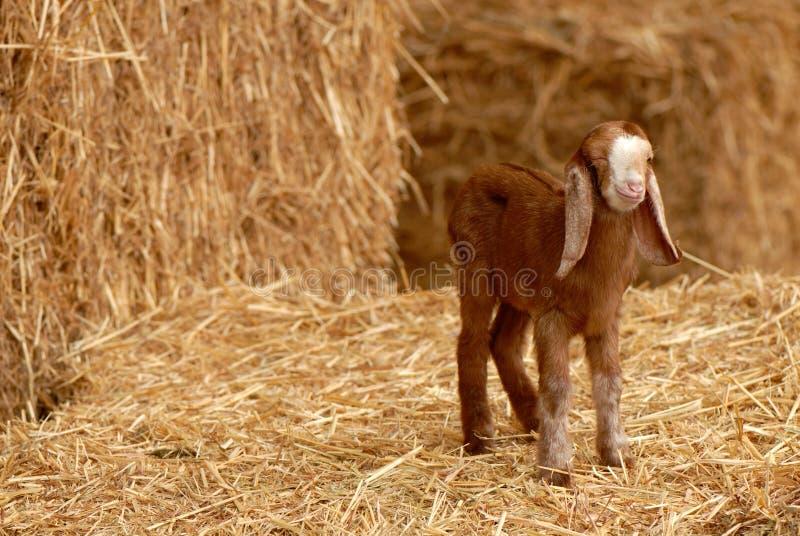 Cabra do bebê   imagens de stock