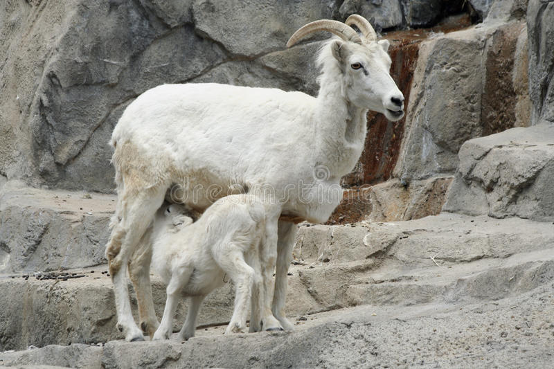 Cabra do bebê dos cuidados imagens de stock