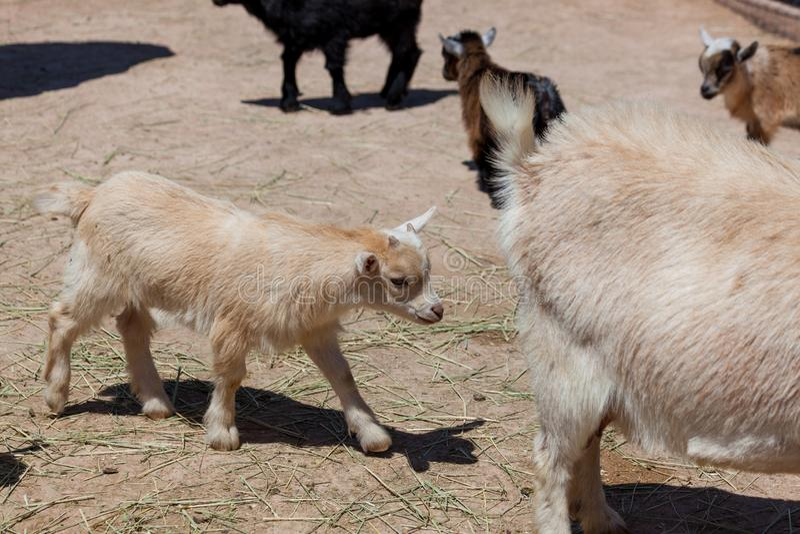 Cabra do bebê no jardim zoológico Petting fotos de stock royalty free