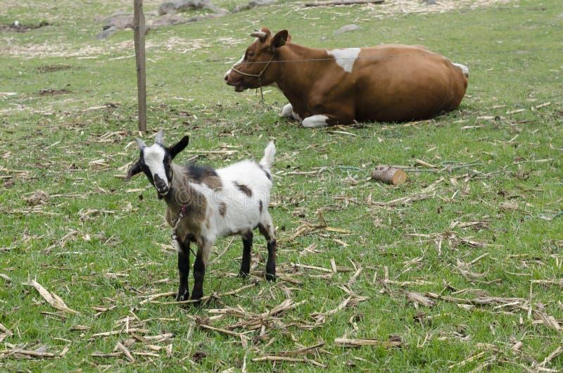 Cabra do bebê que olham a câmera e vaca marrom que descansa na grama foto de stock