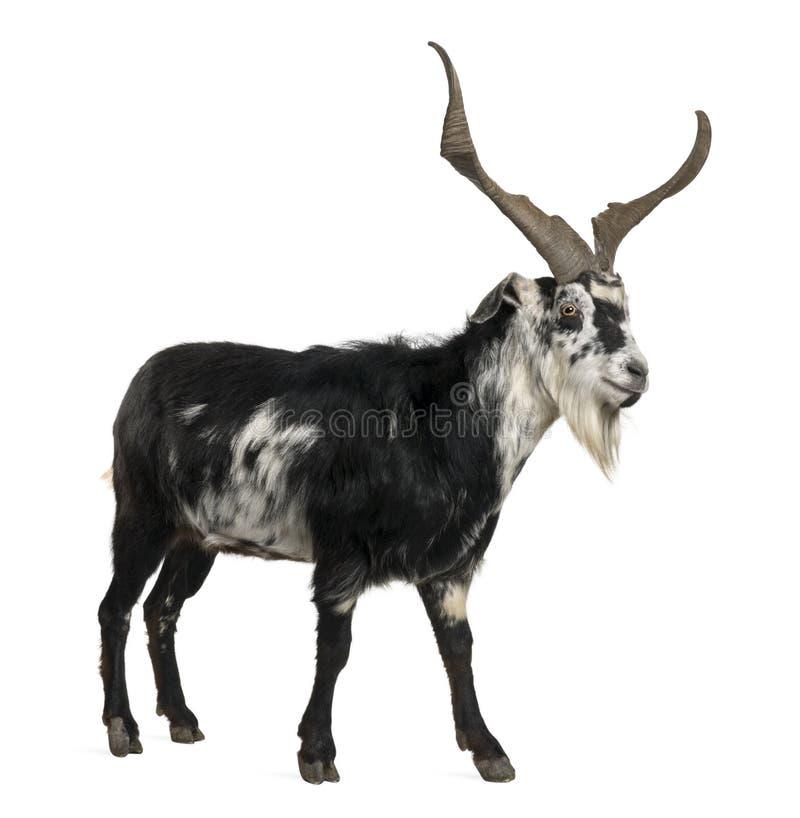 Cabra do Rove, 5 anos velha imagem de stock