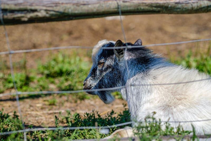 cabra doméstica atrás das barras no campo fotos de stock royalty free
