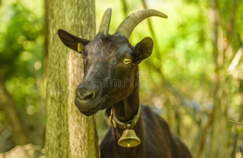 Cabra doméstica com o sino em seu pescoço fotos de stock royalty free