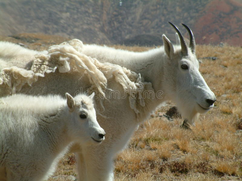 Cabra e bebê de montanha fotografia de stock royalty free