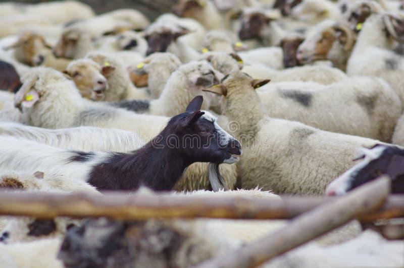 Cabra e carneiros foto de stock royalty free