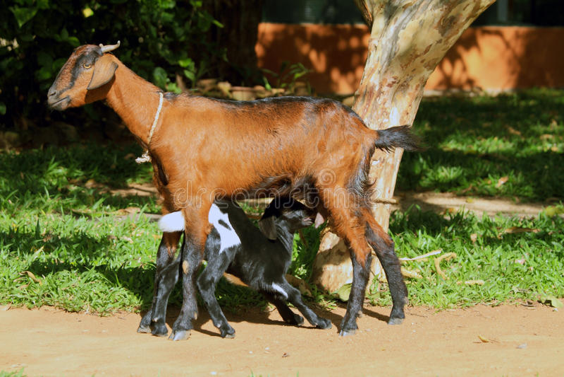 Cabra e criança da matriz fotos de stock