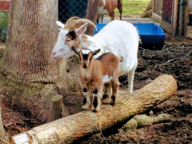 A cabra e o bebê da mamãe obtiveram a imagem da exploração agrícola imagens de stock