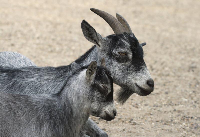Cabra e sua criança imagem de stock royalty free