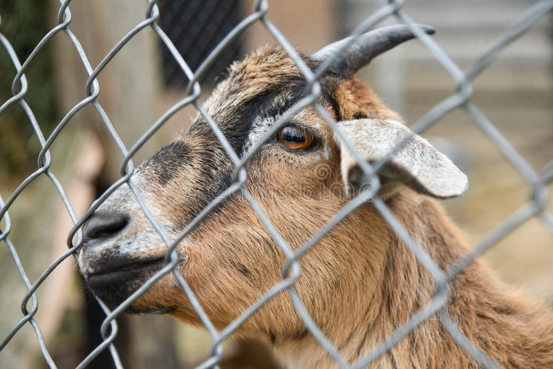 Cabra em uma gaiola no jardim zoológico imagem de stock royalty free
