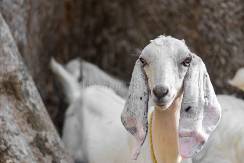 Cabra en africano indio con los oídos y la piel largos con el fondo aislado en los prados que pasta en lado del país foto de archivo libre de regalías