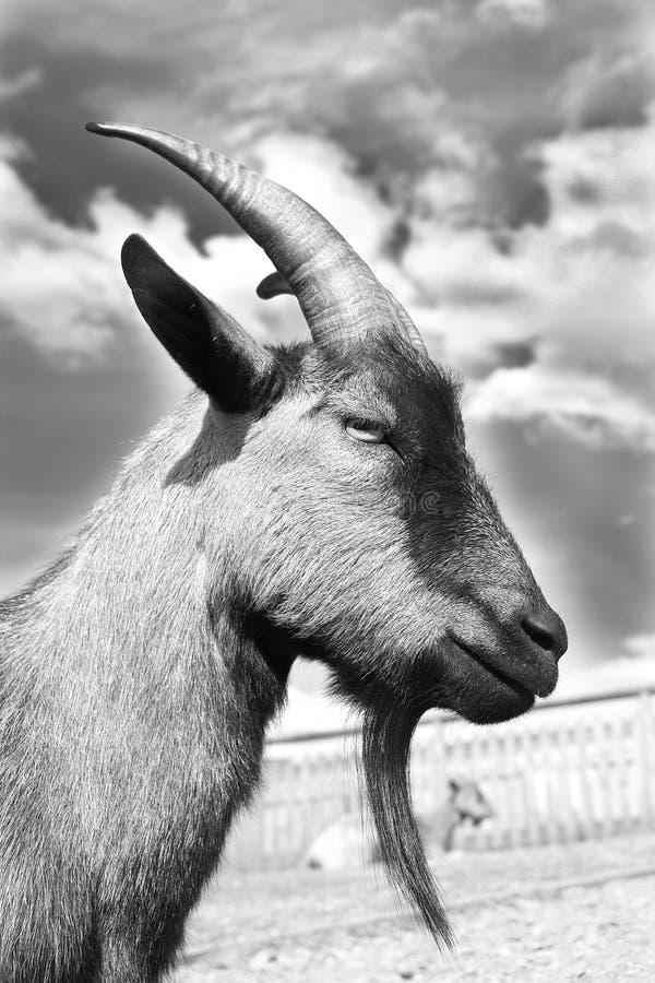 Cabra en blanco y negro imagen de archivo