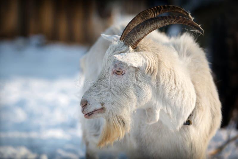 Cabra en escena de la nieve del invierno con los cuernos largos que miran a la distancia fotografía de archivo libre de regalías