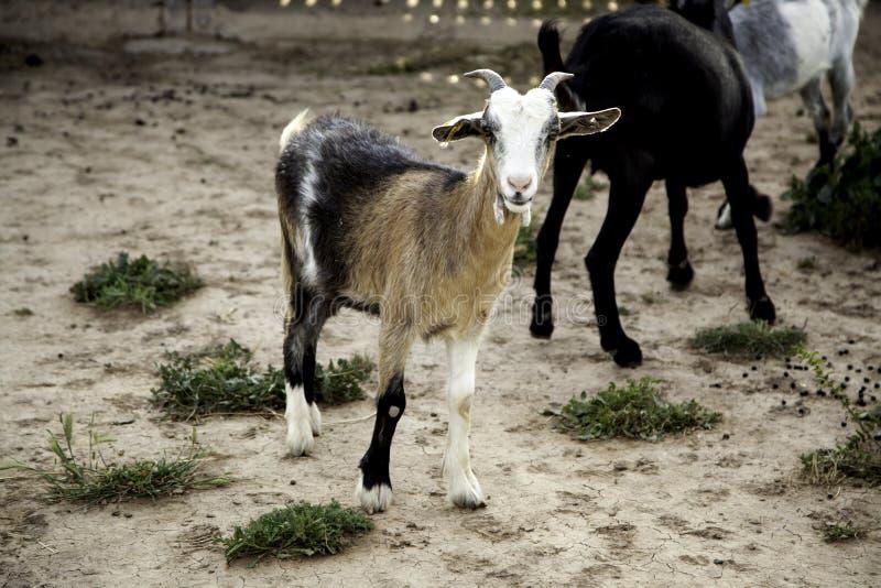 Cabra en granja imagen de archivo libre de regalías