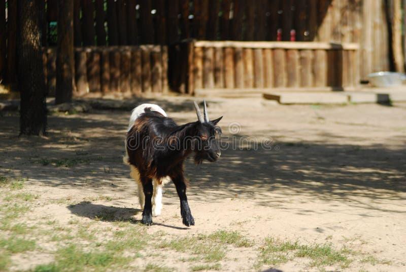 Cabra en la granja, cabra feliz, imágenes de archivo libres de regalías