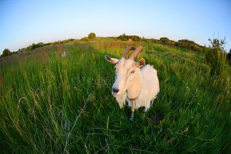 Cabra en un campo verde Sesión fotográfica divertida de la cabra en una lente de Fisheye foto de archivo