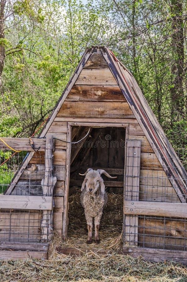 Cabra en un refugio foto de archivo