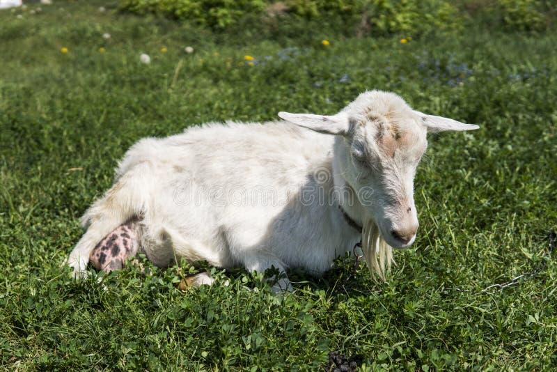 Cabra engraçada branca em uma corrente com uma barba longa que pasta no campo verde do pasto em um dia ensolarado cultivar Cabras foto de stock