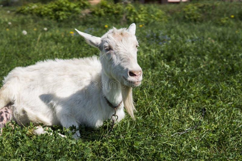 Cabra engraçada branca em uma corrente com uma barba longa que pasta no campo verde do pasto em um dia ensolarado cultivar Cabras fotografia de stock