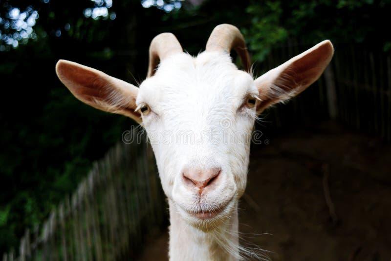 A cabra está olhando na cara da câmera imagem de stock