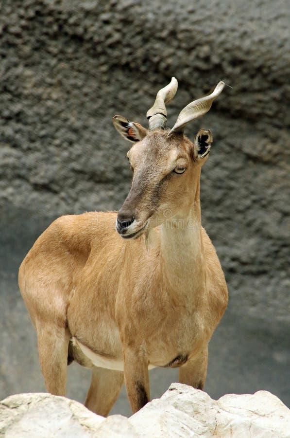 Cabra exótica foto de stock