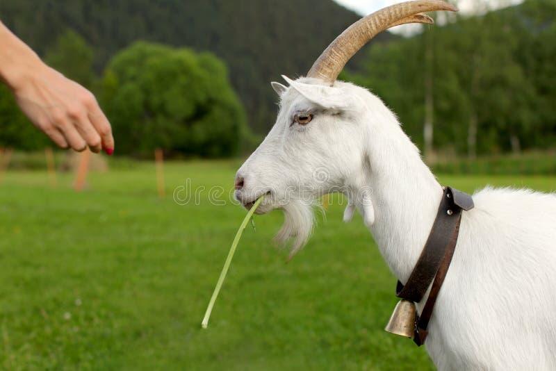 Cabra fêmea, detalhe na cabeça do lado, comendo a licença alimentada pela mulher foto de stock royalty free