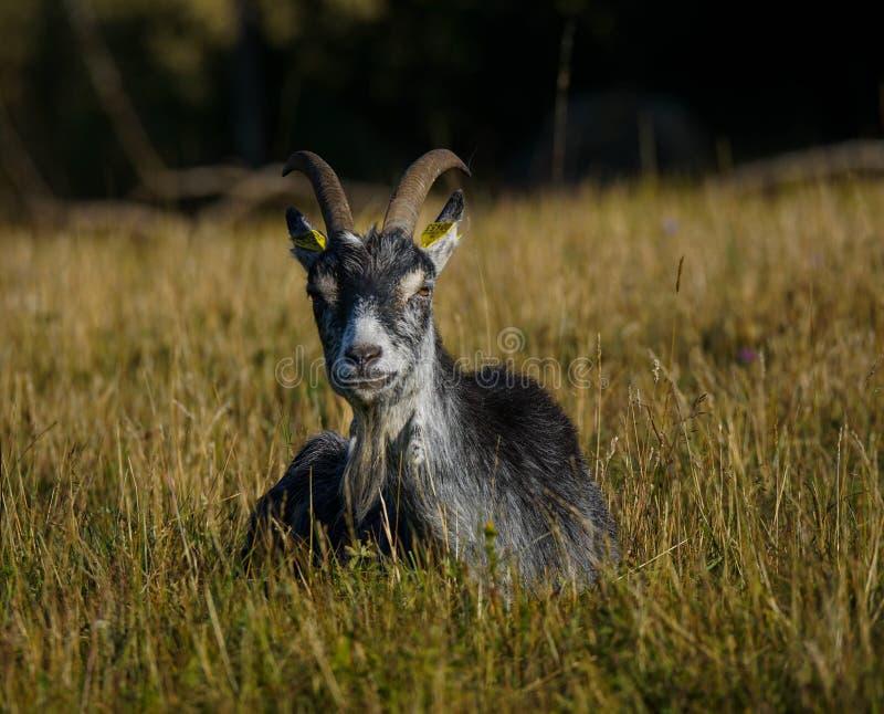 Cabra fêmea que encontra-se na grama imagens de stock royalty free