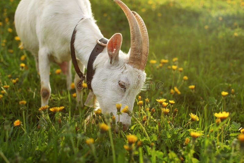 Cabra fêmea que pasta, comendo a grama no prado completamente dos dentes-de-leão, foto de stock