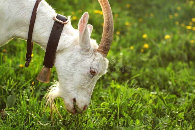 Cabra fêmea que pasta na grama verde, prado com os dentes-de-leão nos vagabundos imagem de stock