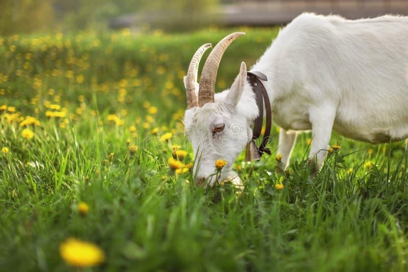 Cabra fêmea que pasta no prado com grama e dentes-de-leão, detalhe imagem de stock royalty free