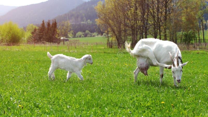 Cabra fêmea que risca sua cabeça, com a cabra do bebê atrás dela, caminhada fotografia de stock royalty free