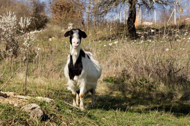 Cabra grávida bonita que pasta no campo verde do prado da mola no campo da vila imagens de stock