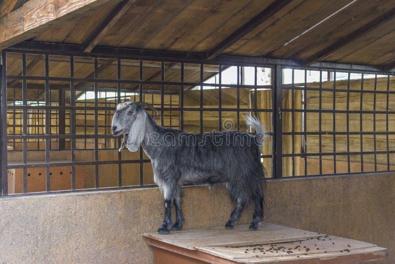 Cabra gris que se coloca en una jaula fotografía de archivo