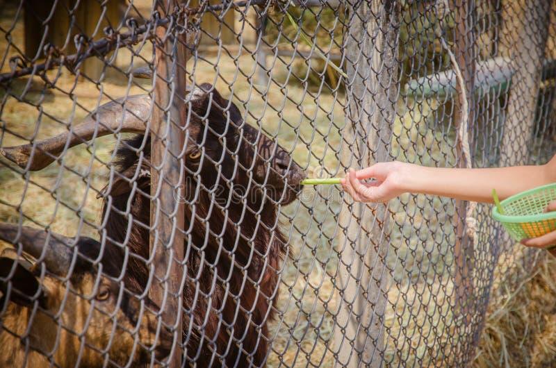 Cabra hambrienta que come de la mano imágenes de archivo libres de regalías