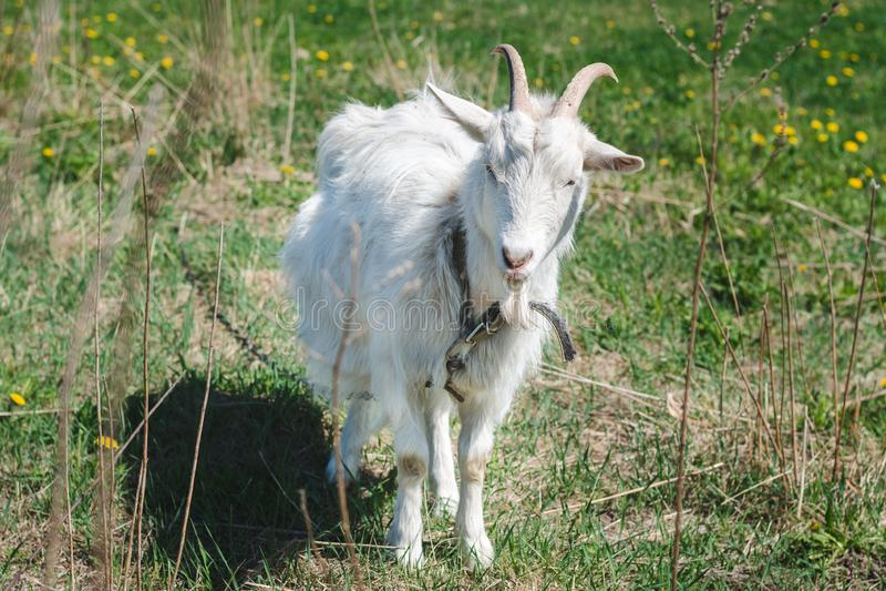 Cabra horned branca com cabelo longo em um prado verde em um dia de verão ensolarado foto de stock