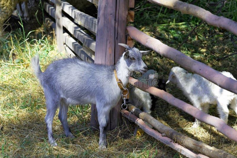 Cabra joven cerca de la cerca foto de archivo
