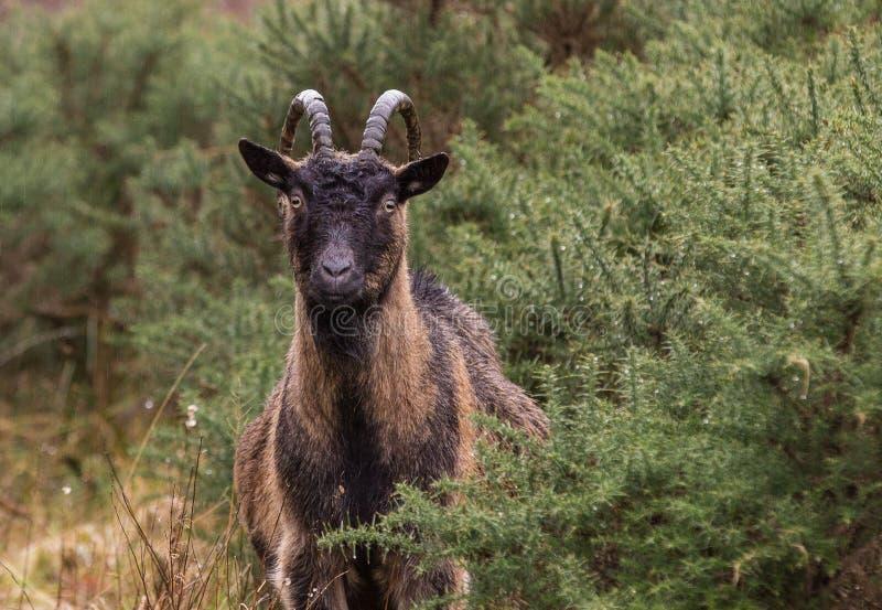 Cabra joven en Escocia fotos de archivo