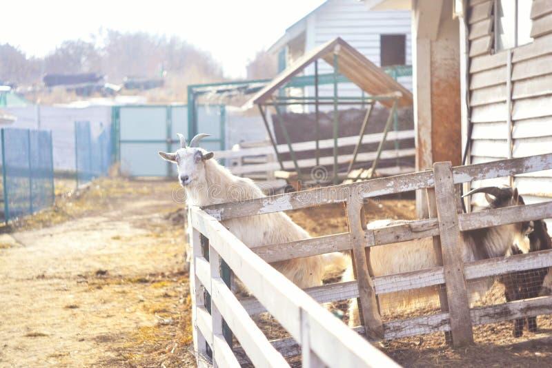 Cabra Larissa no jardim zoológico rural foto de stock