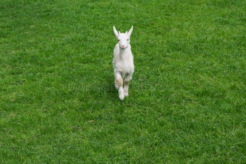 Cabra linda del bebé goatling el frente verde joven de la hierba de prado fotos de archivo