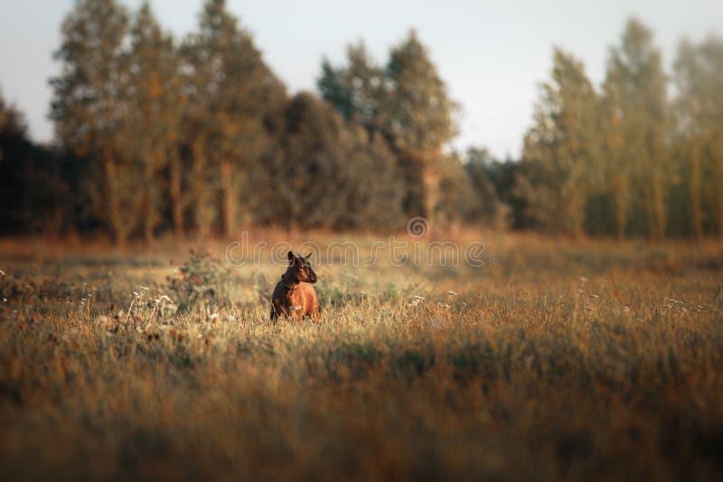Cabra marrón joven del Camerún fotografía de archivo