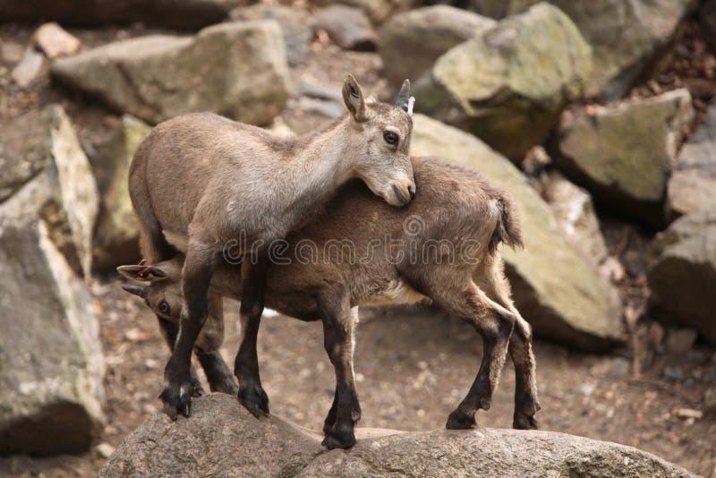 Cabra montés alpino (cabra montés del Capra) imágenes de archivo libres de regalías