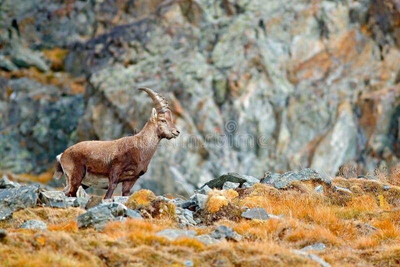 Cabra montés alpino, cabra montés del Capra, con el árbol de alerce anaranjado del otoño en fondo de la colina, parque nacional G imágenes de archivo libres de regalías