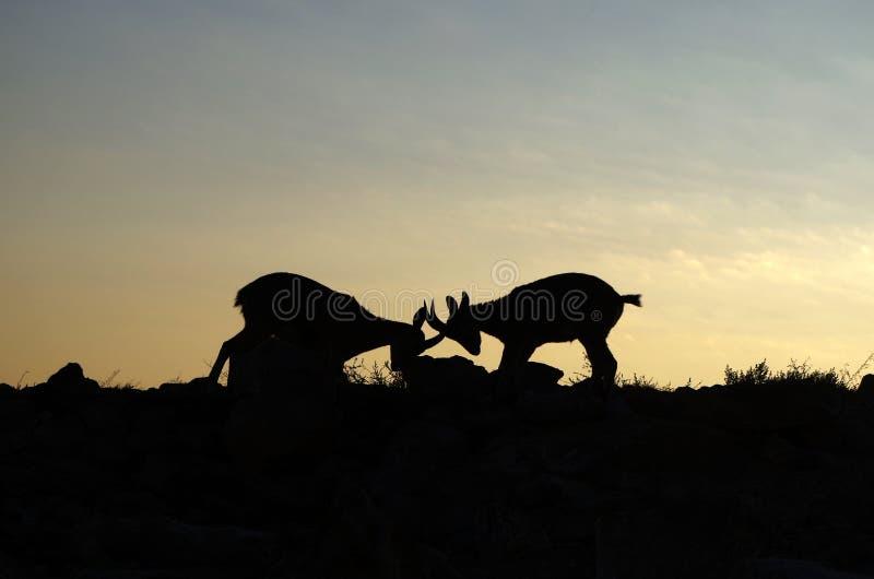 Cabra montés de Nubian que lucha detrás de una salida del sol fotos de archivo libres de regalías