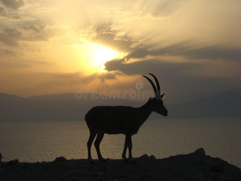 Cabra montés en el mar muerto delante de la salida del sol fotos de archivo