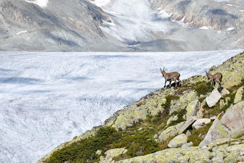 Cabra montés en el valle del glaciar de Rhone, en las montañas suizas, Europa foto de archivo