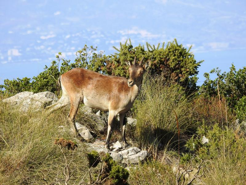 Cabra Montes, Iberian Ibex. South Spain royalty free stock images